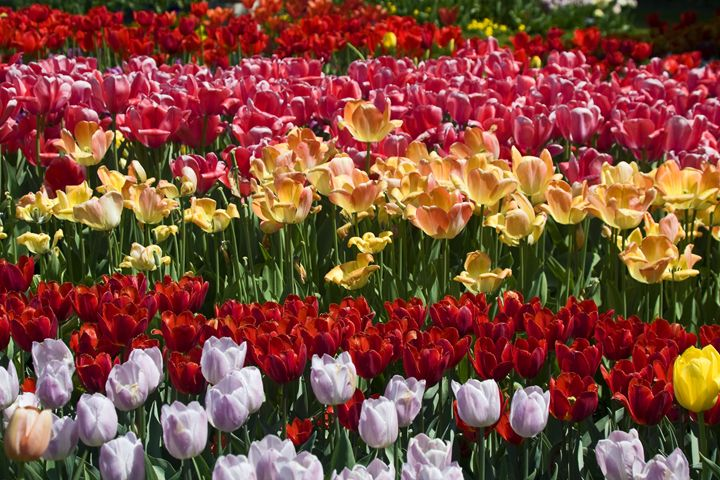Multicolor Tulips - Sally Weigand Images