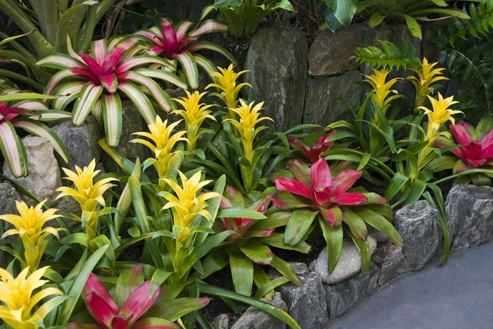Guzmania - Sally Weigand Images
