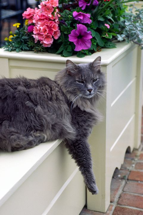 Maine Coon Cat - Sally Weigand Images