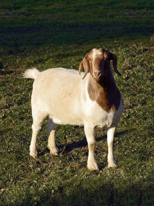 Boer Goat - Sally Weigand Images