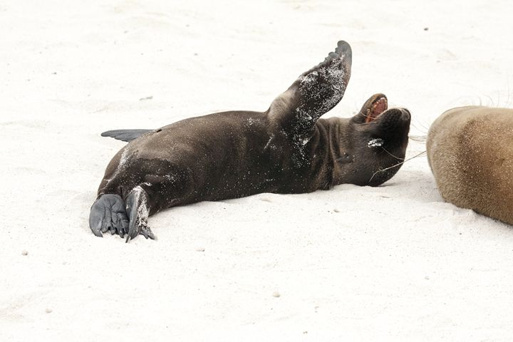 Galapagos Sea Lions Rolling Around - Sally Weigand Images
