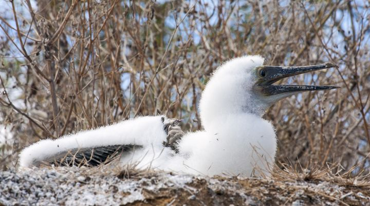 Blue-footed Booby Young - Sally Weigand Images