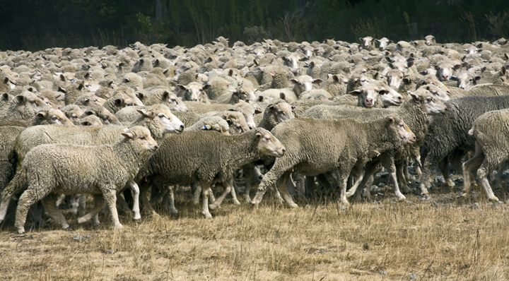 Sheep Herd on the Move - Sally Weigand Images
