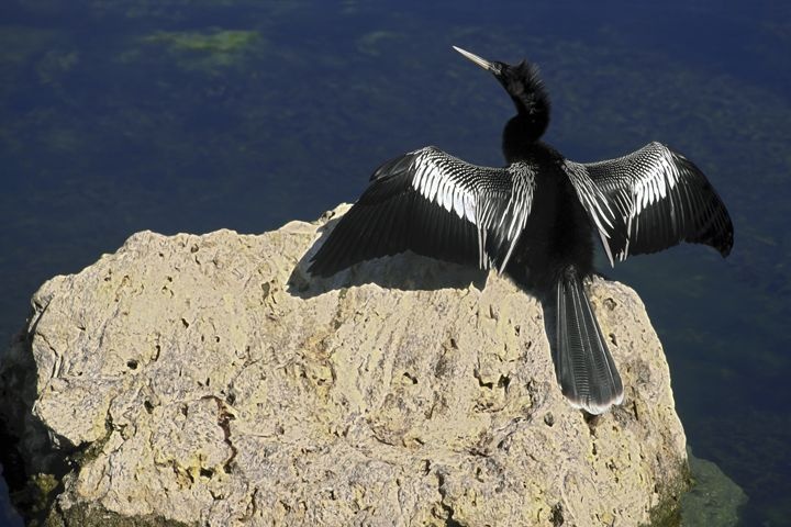 Anhinga Spreading Wings - Sally Weigand Images