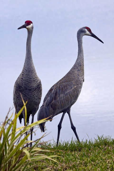 Sandhill Cranes Pair - Sally Weigand Images