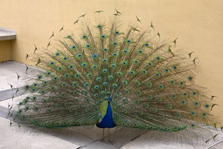 Peacock - Sally Weigand Images