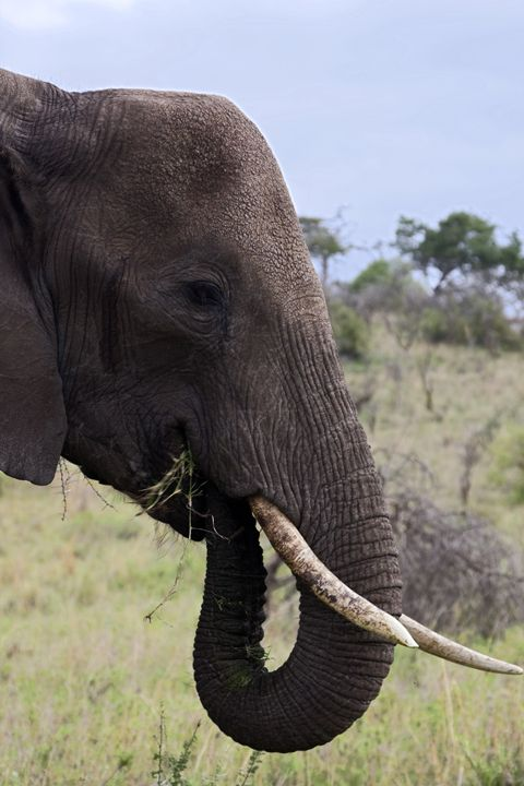 African Elephant Eating Grass - Sally Weigand Images