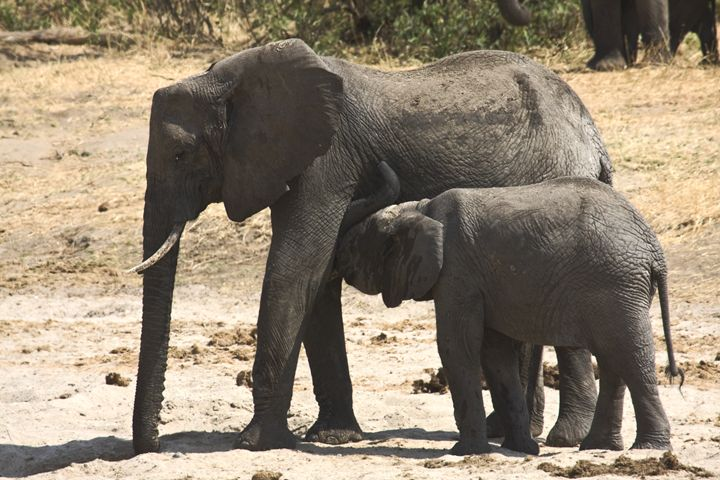 Mother & Baby African Elephants - Sally Weigand Images