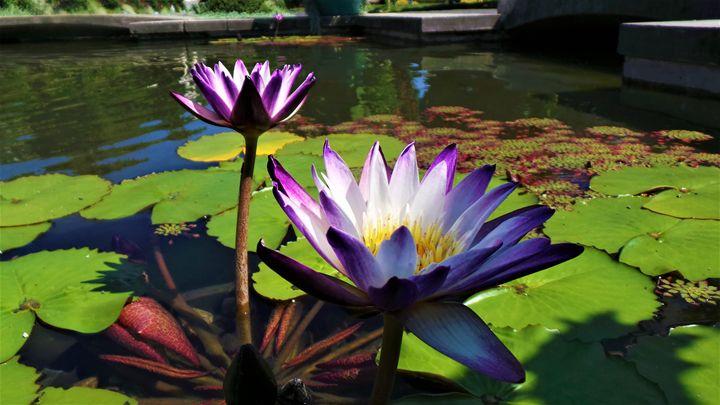Water Lilies - Jonathan M. Schwartzman