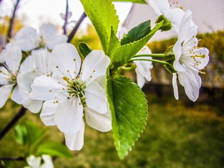 Cherry Blossoms - Jonathan M. Schwartzman