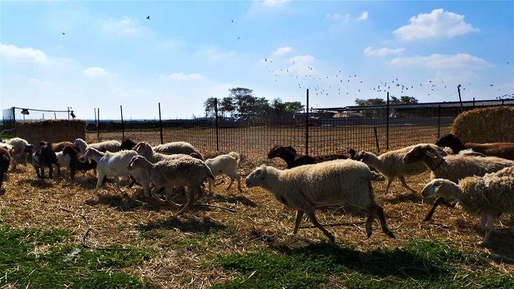 Have You Herd? - Jonathan M. Schwartzman