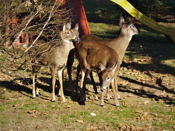 Curious Deer - Jonathan M. Schwartzman