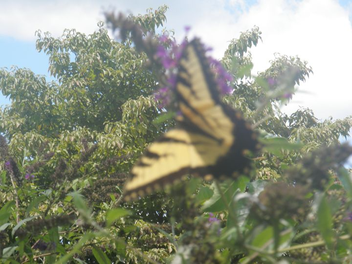 butterfly 3 - Photos