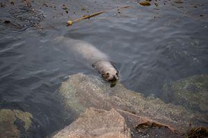 Monterey Sea Lion