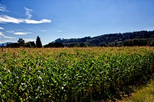 A maize Plantation