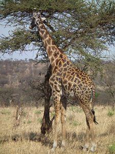 Giraffe - Normads Art Studio