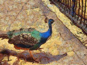Peacock - nova