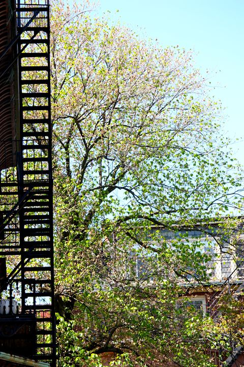 Beacon Hill Fire Escape in Spring - Emily Sobiecki