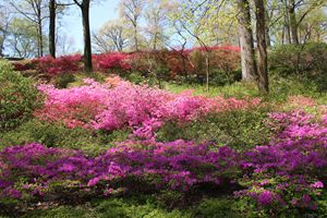 Azaleas at the Botantical Garden