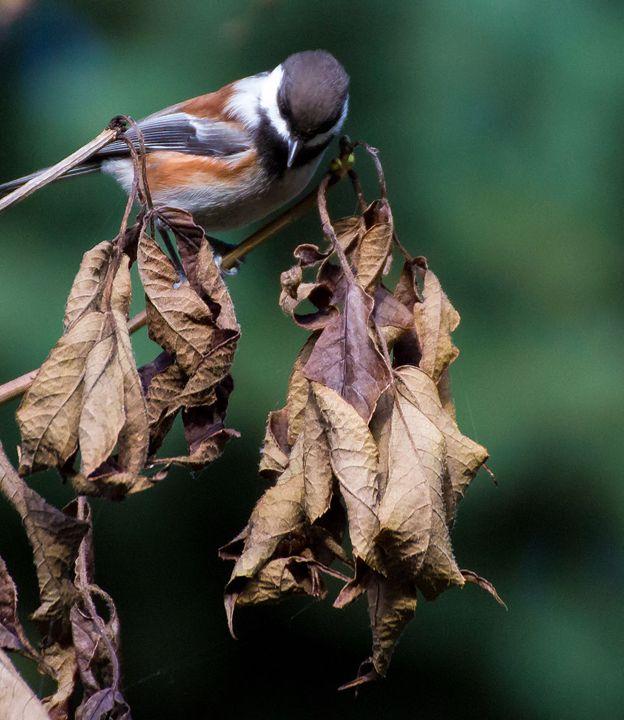 Chestnut Backed Chickadee - Art By Marcina