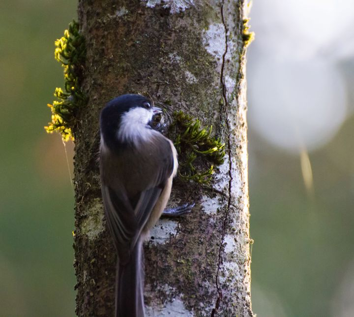 Black Capped Chickadee - Art By Marcina
