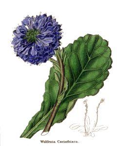 Wulfenia Carinthiaca or Carinthian W