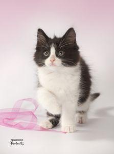 Kitten Black & White