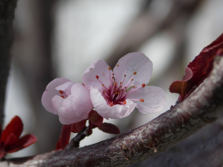 Thundercloud Plum Blossoms - Heather Coste
