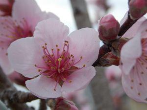 Pink flowering Cherry, Akebono