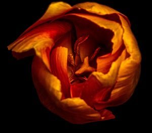 macro of an orange tulip