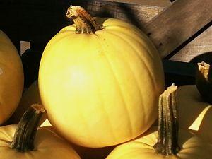 Yellow Fall Pumpkin