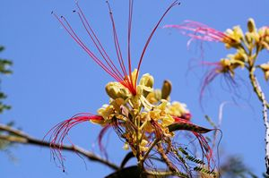 Yellow Bird of Paradise Tree