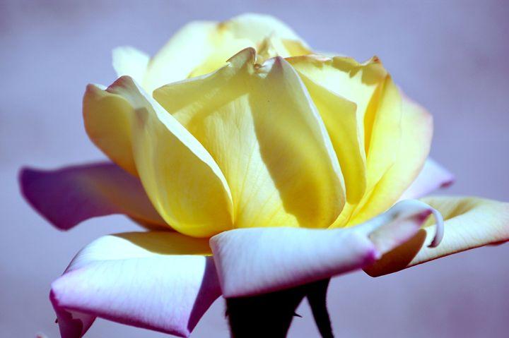 Vibrant Yellow and Pink Rose - Desert Life Studio