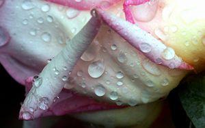 Soaked Rose Petals