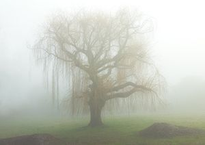 Willow in Fog