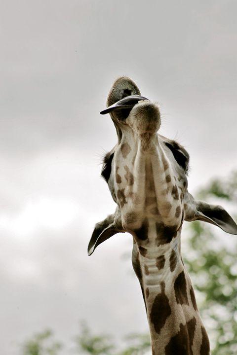 giraffe tounge - Laurahayles photography