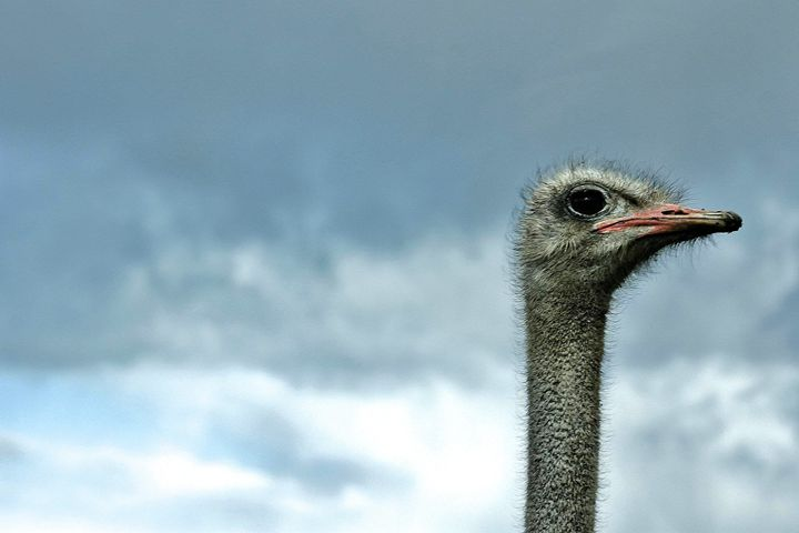 ostrich - Laurahayles photography