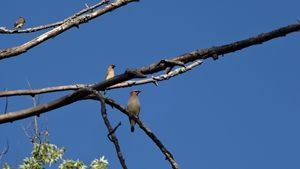 Cedar Waxwings High on the Branches