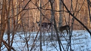 Whitetail Deer Grouping in the Snow