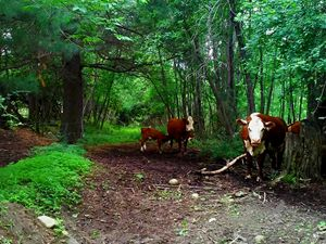 Cows in a Clearing