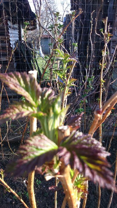 Rubus idaeus - Nive