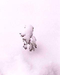 Shrub in the Snow