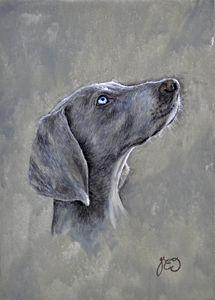Weimeraner pedigree dog