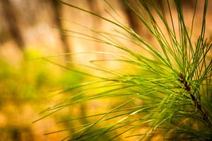 perspective pine