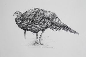 Turkey 2(pen and ink)