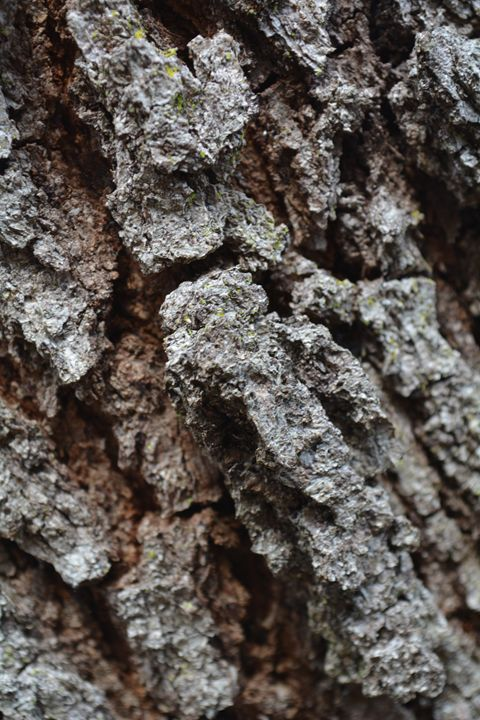 Oak Tree Bark Photo - TrixieTheTrickster