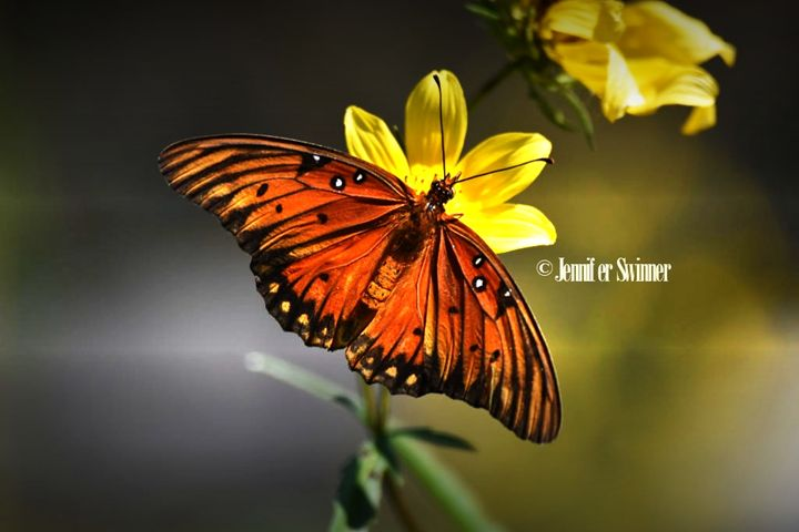 Butterfly - Jennifer Swinner Photography