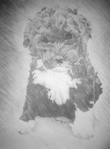 Breezie the portuguse water dog