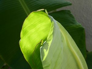 Early morning banana leaf