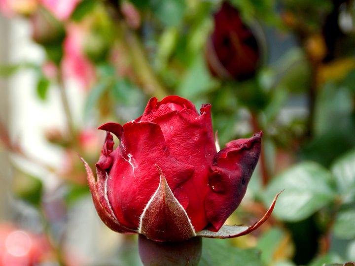 Wedding Roses - dadaart